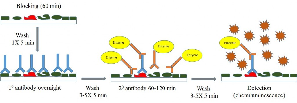 Western-blot-overview-enzyme1-1024x357